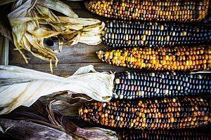 Genmais ist in der globalen Landwirtschaft besonders verbreitet. Der Verbraucher lehnt GVO als Nahrung jedoch meist ab.