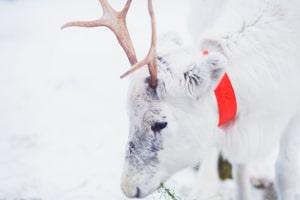 Wer mit dem Auto nach Finnland fährt, sollte besonders auf Rentiere und Elche achten.