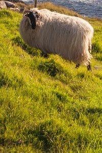 Möglichkeiten der Gentechnik: Das Klon-Schaf Dolly war 1996 eine Sensation (Beispielbild).