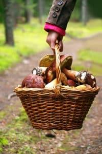 Pilze zu sammeln ist laut Waldgesetz in der Regel nicht verboten