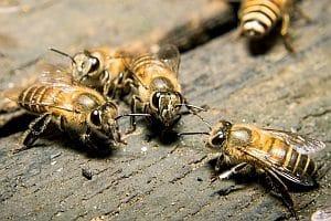 Risiken der Gentechnik: Gentechnisch veränderte Pflanzen könnten auch am Bienensterben beteiligt sein.