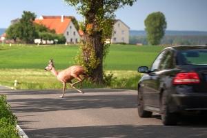 Wer in Schweden bei seiner Rundreise mit dem Auto einen Wildunfall hat, muss diesen meist sofort melden.